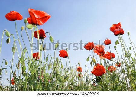 red poppies on sky background