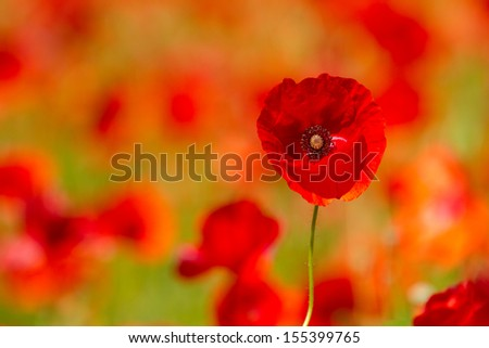 Red poppies on spring meadow, - stock photo