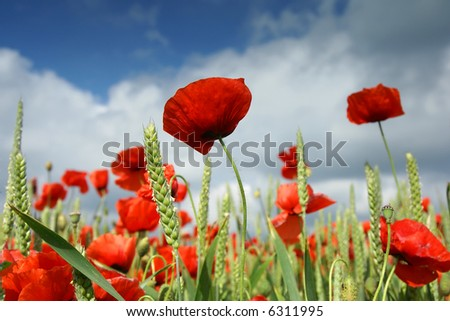 Red poppies on spring meadow and polarized blue sky