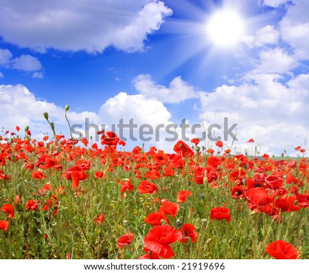 Red poppies on spring meadow and strongly polarized blue sky. - stock photo