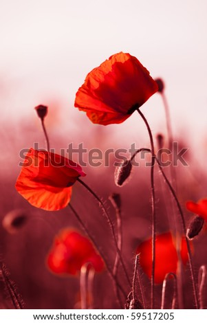 Red poppies on spring meadow, red colored - stock photo