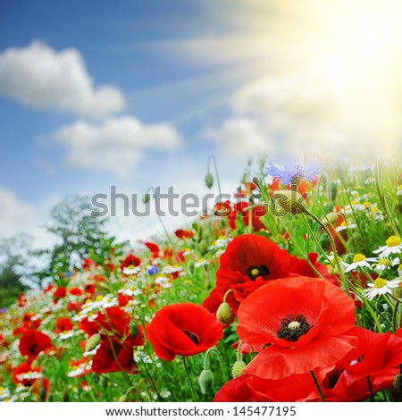 Red poppies on summer green field - stock photo