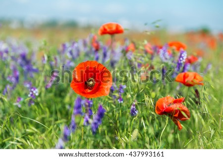 red poppies on summer landscape. soft focus - stock photo