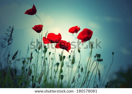 Red poppies on summer meadow. Summer landscape.