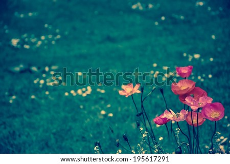 Red poppies on the meadow. Selective focus. Aged photo. Retro style postcard. - stock photo