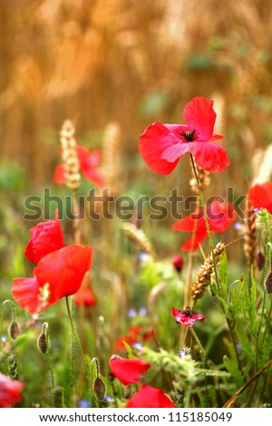 Red Poppies / Poppy Flower in cornfield - symbol of war - for  Remembrance Day / Sunday. - stock photo