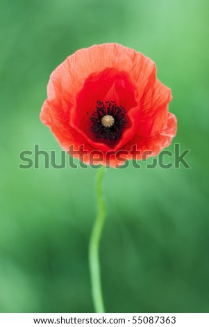 Red poppy and green background - stock photo