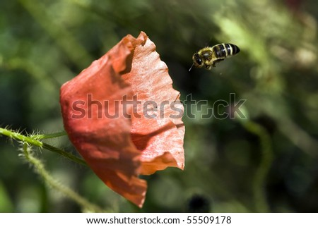 Red poppy and the bee - stock photo