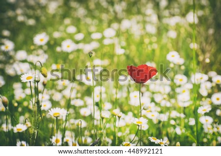 Red Poppy and White Daisy Summer Field - stock photo