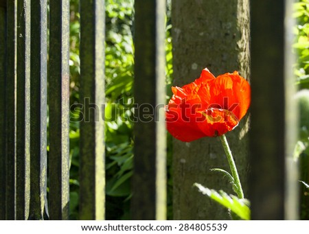 Red poppy behind wrought iron garden fence - stock photo