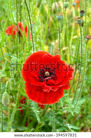 Red poppy (common names: common poppy, corn poppy, corn rose, field poppy, Flanders poppy, red poppy, red weed, coquelicot) blooming on field. - stock photo