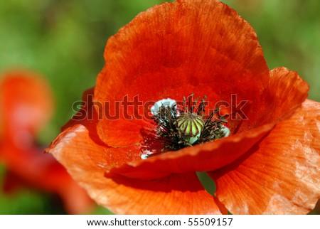 Red poppy - detail - stock photo