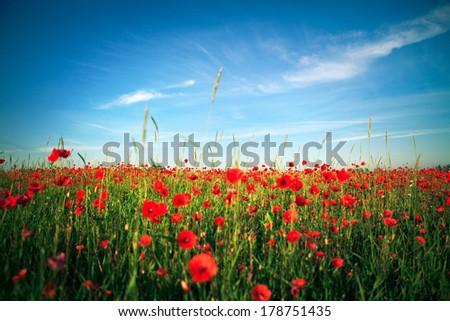 red poppy field - stock photo