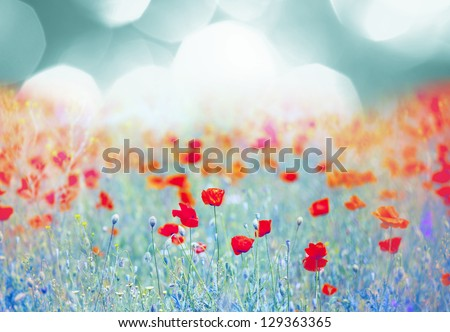red poppy field at sunset - stock photo