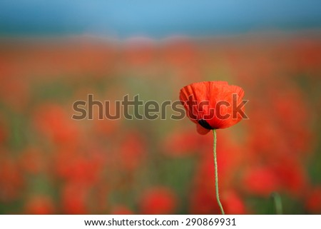 red poppy field. Blooming field of poppies. Poppy - stock photo