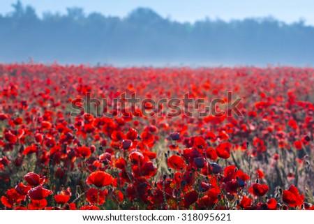 red poppy field in a blue mist - stock photo