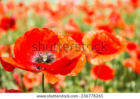 Red poppy field with close up of flower - stock photo