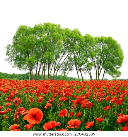 Red poppy field with trees on white background. Spring landscape. - stock photo