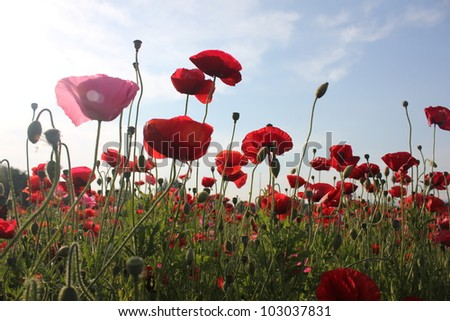 Red poppy flower field, low angle view.