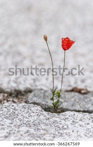 red poppy flower growing out of the gap of a cobblestone plaster - stock photo