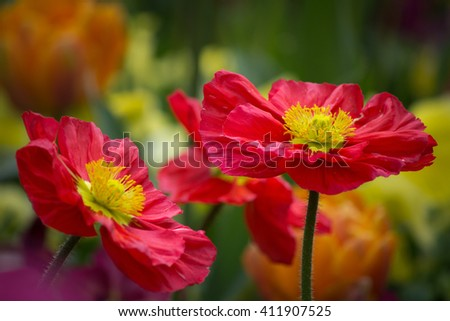 Red poppy flower in a natural green environment - stock photo
