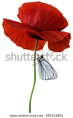 Red poppy flower. Isolated on white background with butterfly - stock photo