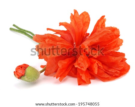 Red poppy flower on a white background - stock photo