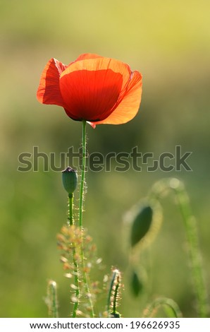 Red poppy flower on the field - stock photo