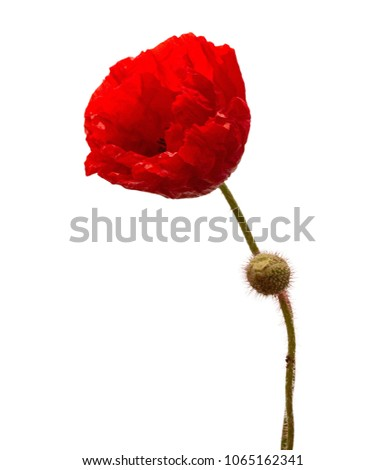 Red poppy flower remembrance anzac day stock photo download now red poppy flower remembrance anzac day isolated on white background with saved clipping path mightylinksfo