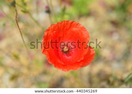 Red Poppy flower, Selective focus point - stock photo