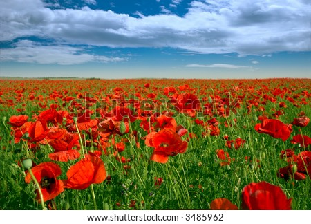 Red poppy flowers and green grass under the blue sky