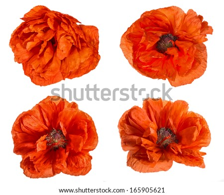 red poppy flowers collection isolated on white background - stock photo