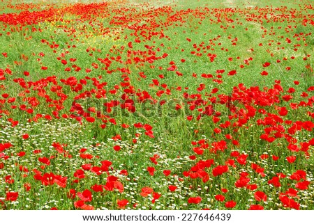 Red poppy flowers field blooming in springtime - stock photo