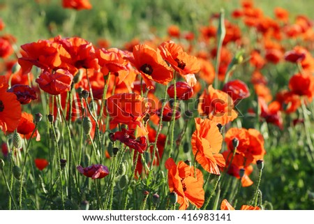 Red poppy flowers field, close up - stock photo