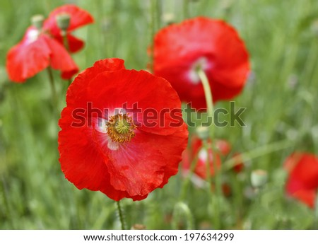 Red poppy flowers in the meadow.  - stock photo