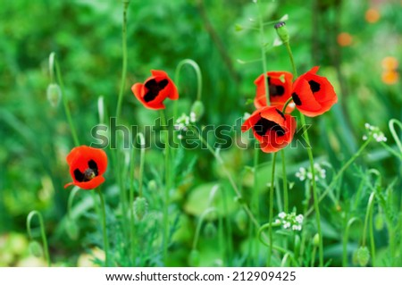 Red poppy flowers in the meadow in summer. Floral background. Macro image - stock photo