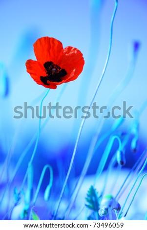 Red poppy flowers meadow over blue background, wildflower field - stock photo