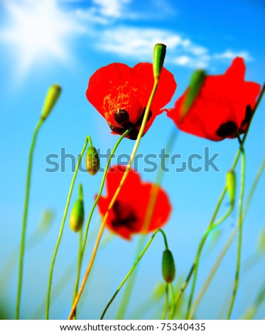 Red poppy flowers meadow over blue clear sky background - stock photo