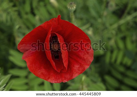 Red poppy flowers on a background of green grass