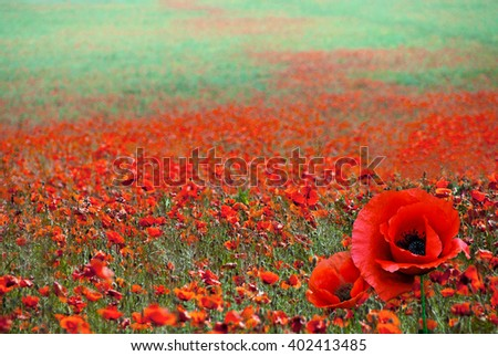 Red poppy flowers on the field as symbol for Remembrance Day. Red poppy flower with soft focus of poppies on meadow, blur background with soft light effect. - stock photo