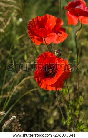 Red poppy flowers (Papaver rhoeas) on the green field in the sunlight - stock photo