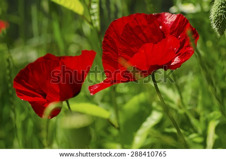 Red poppy in a green grass field, natural floral background - stock photo