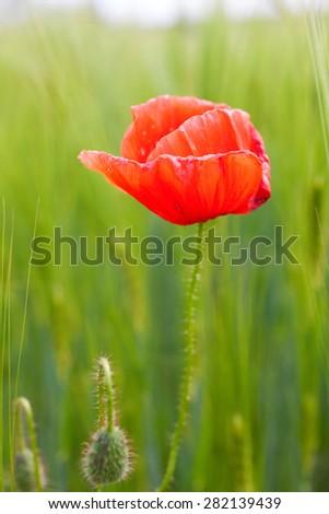 Red poppy in a wheat field - stock photo