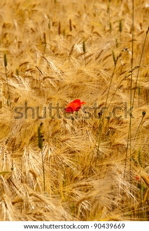 Red poppy in a yellow field