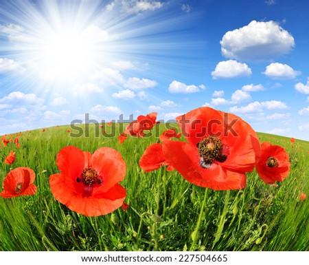 Red poppy in green wheat field - fisheye shot - stock photo