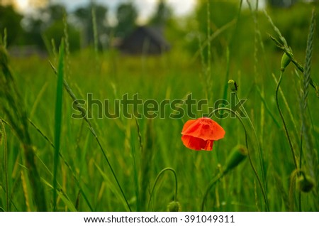 Red poppy in the meadow against the background of village house - stock photo