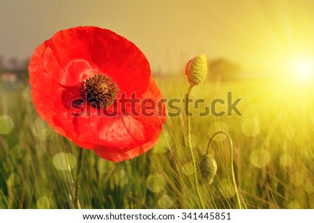 Red poppy in wheat fields at sunset - stock photo