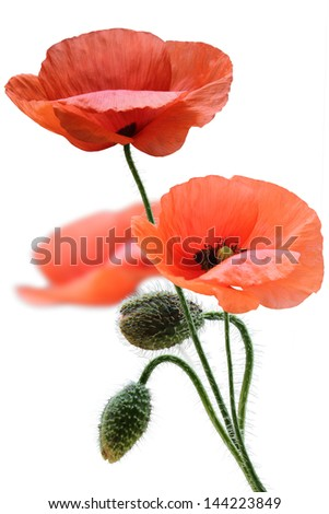 red poppy isolated on a white background - stock photo