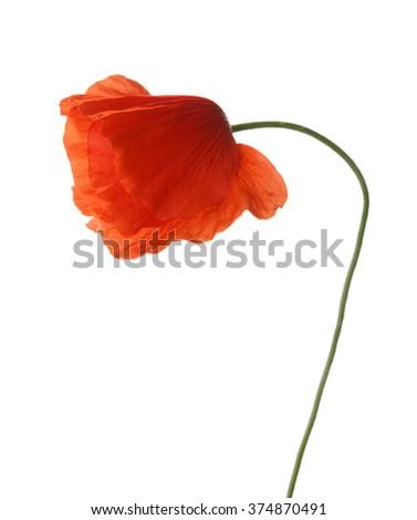 Red poppy isolated on white. studio shot - stock photo