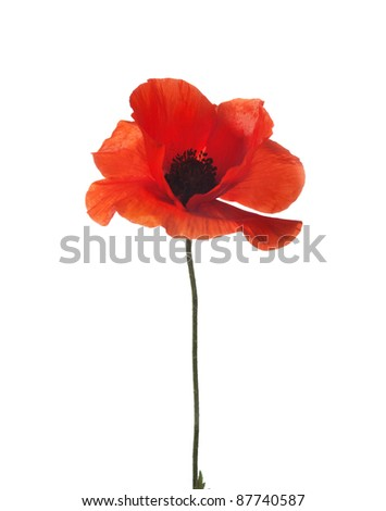 red poppy isolated on white. studio shot.